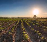 kasava zemědělství zemědělská půda v Thajsku