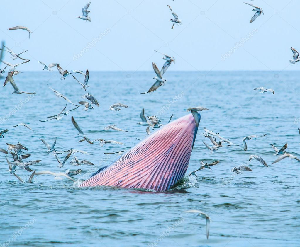 Whales eating fish in Thailand