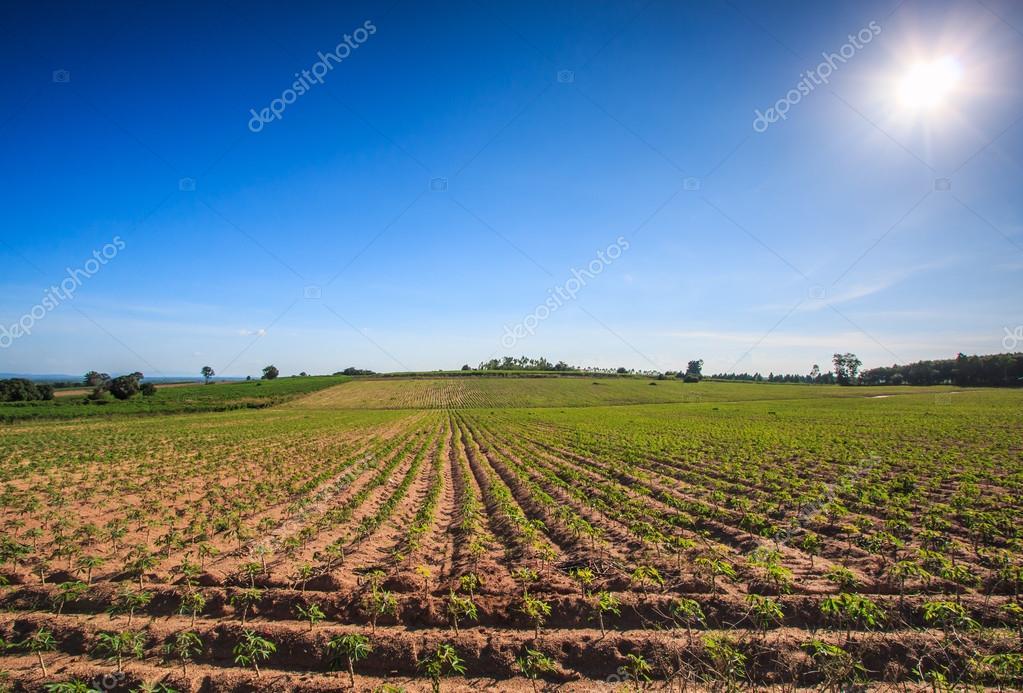Cassava farmland  in Thailand