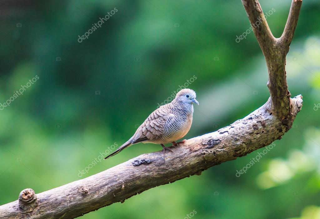 Zebra Dove  bird on tree