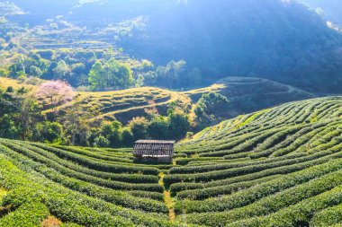 Tea Plantation in Chiang Mai