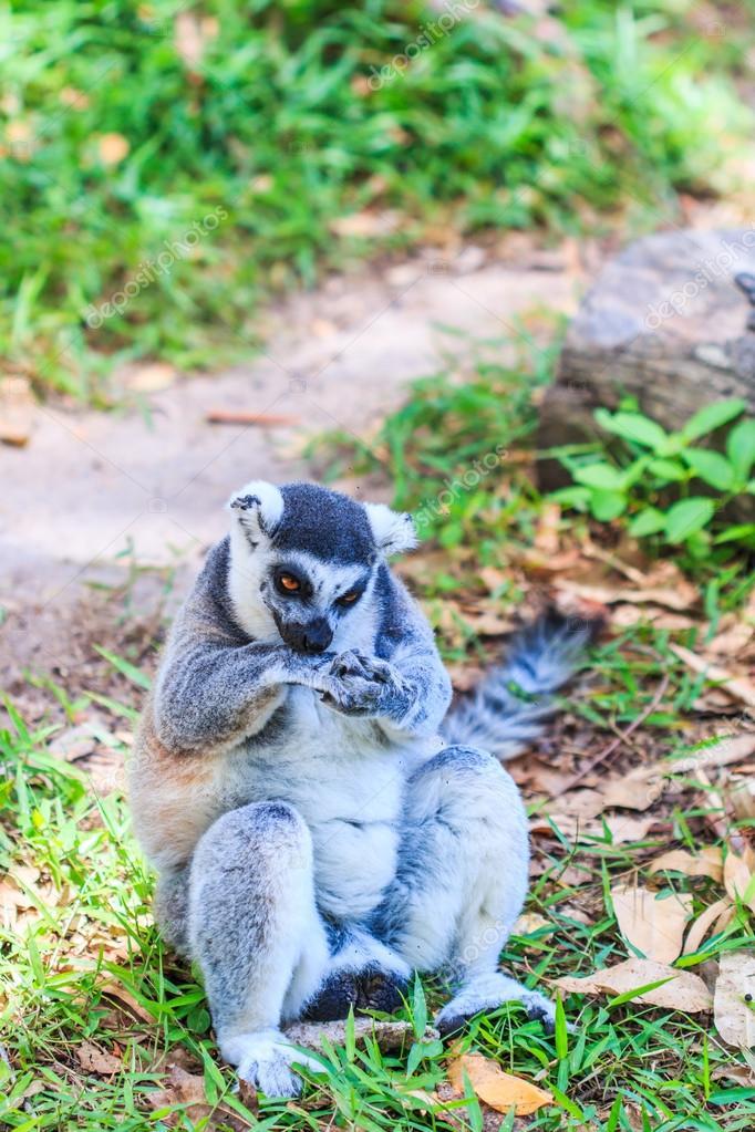 Ring-tailed lemur animal