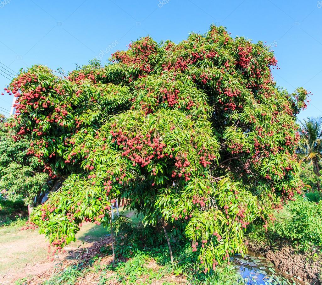 Colorful Tree 193 Rbol De Frutos De Lichi Foto De Stock 169 Deerphoto 71638739