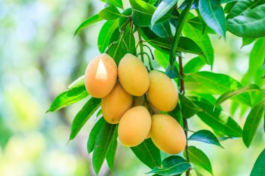 Plum Mango fruits