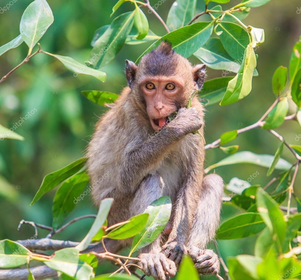 Schön Haustier Affe Galerie Von (krabben Fressende Makaken)-asien-thailand — Foto Von Deerphoto