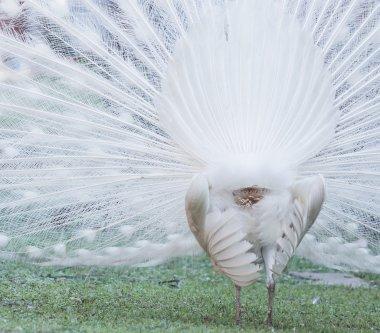 rare White Peacock bird