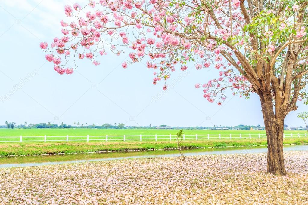 blossom  Pink Tabebuia rosea