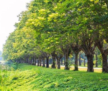 Row of trees trunks
