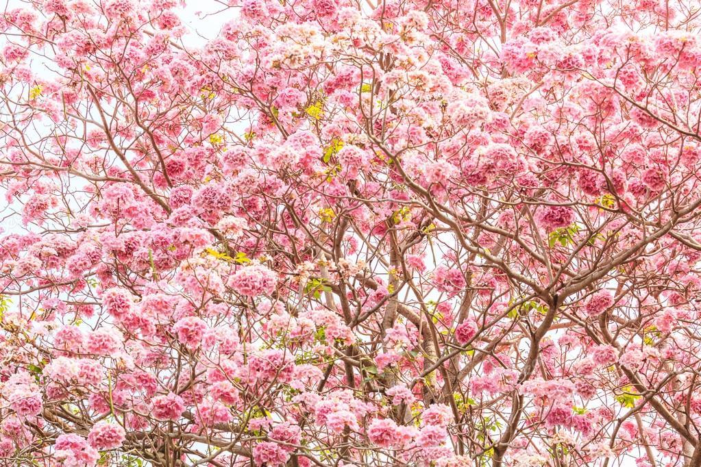 Tabebuia rosea Pink flowers