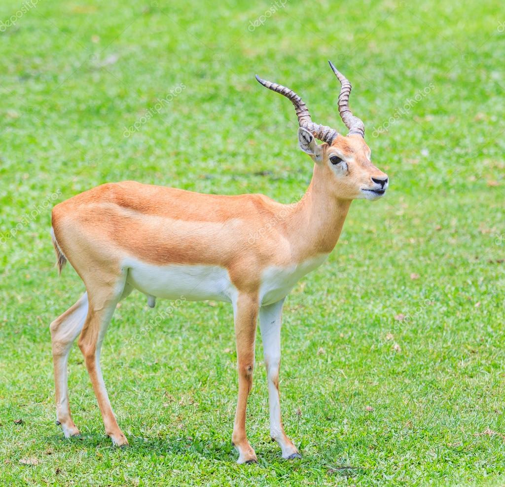 Gazelle de Thomson animal sauvage — Image de Deerphoto