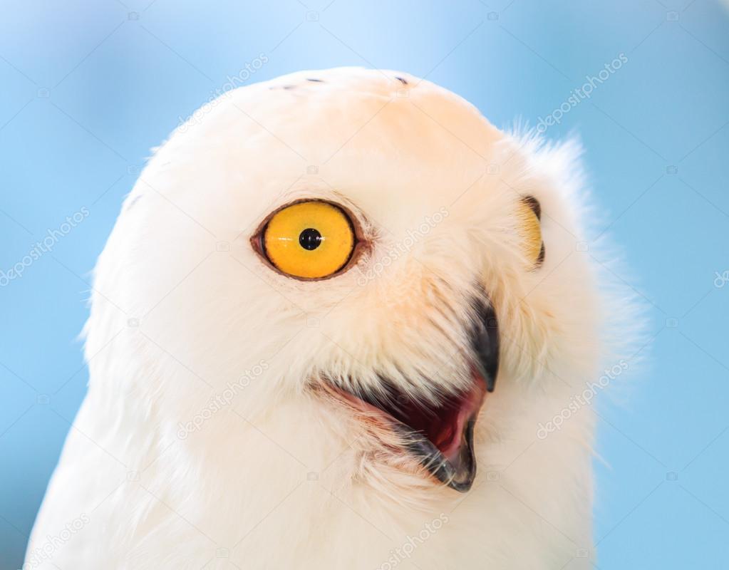 White Owl on background