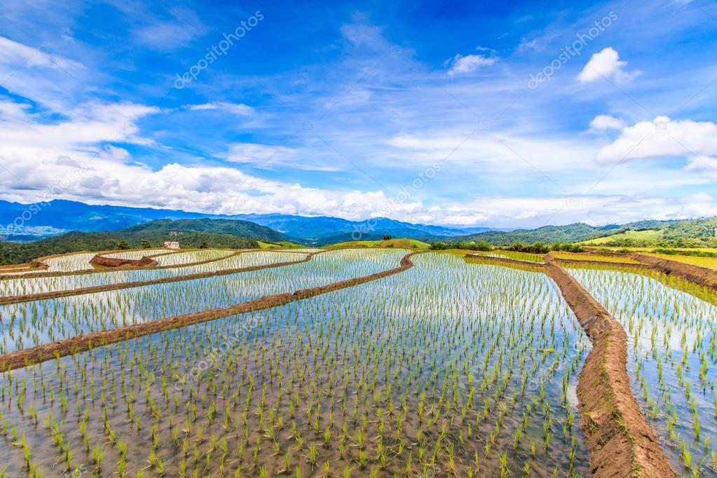 Paddy - rice fields in Thailand