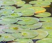 zelené lotosové listy