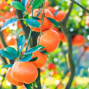 Ripe oranges on a tree branch stock vector