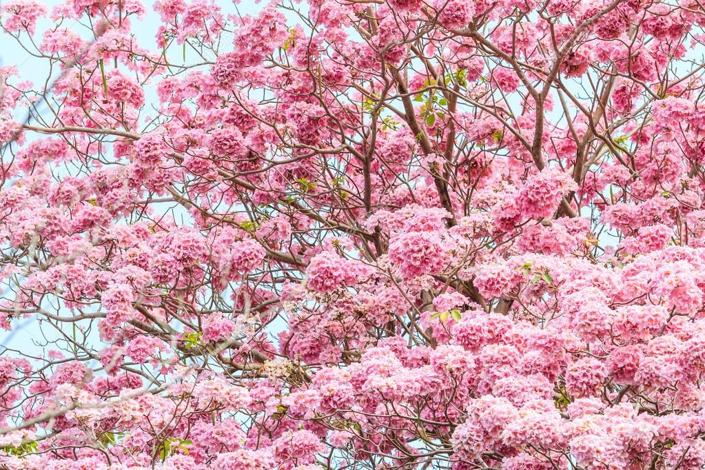 Pink Tabebuia rosea blossom flowers