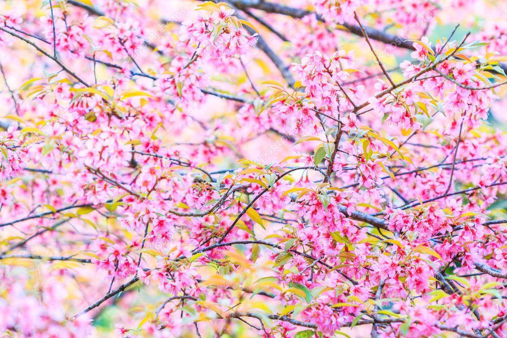 sakura blossom in Thailand
