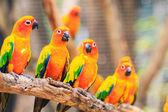 slunce conure papoušky