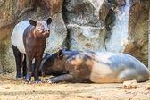 Malayan Tapir animals