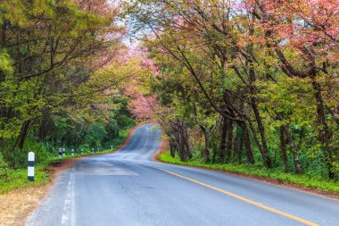 Blossom sakura trees