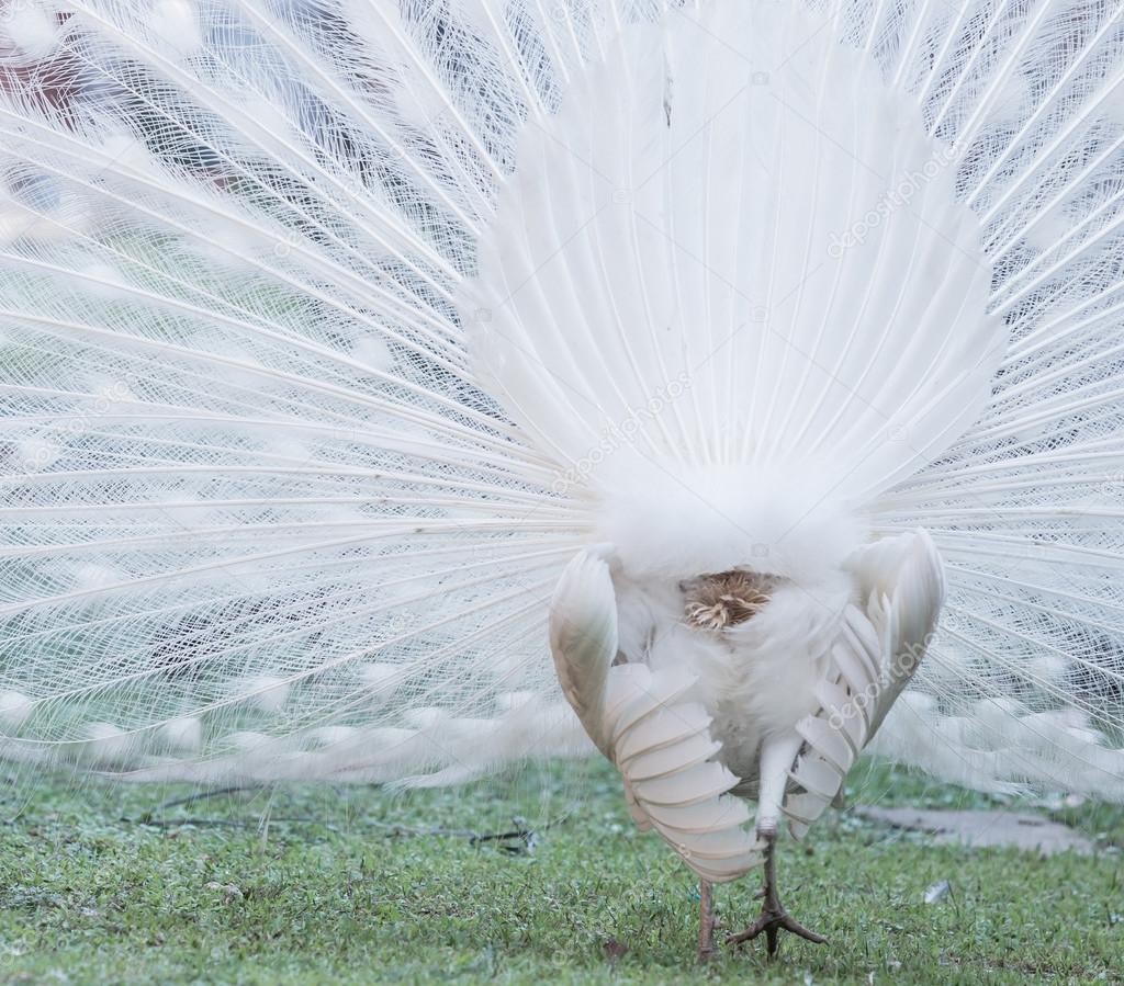 pavone bianco albino — Foto Stock © Deerphoto #98112128