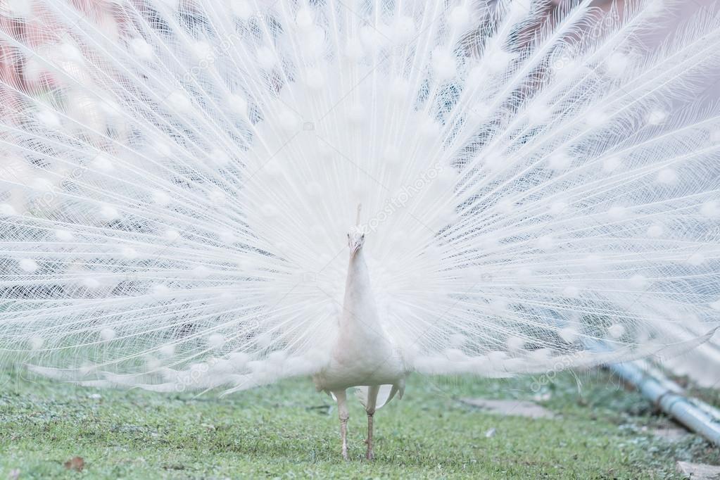 pavone bianco albino — Foto Stock © Deerphoto #98112350