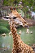 vadállat zsiráf