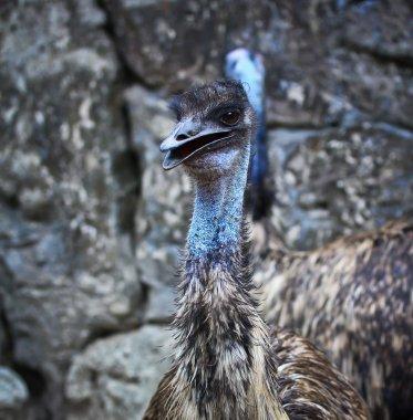 Wild emu bird in zoo stock vector