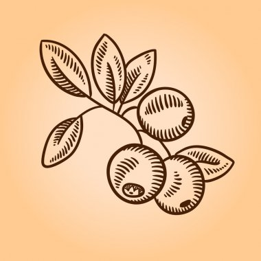 Cranberries. Retro engraving style illustration. Hand drawn.