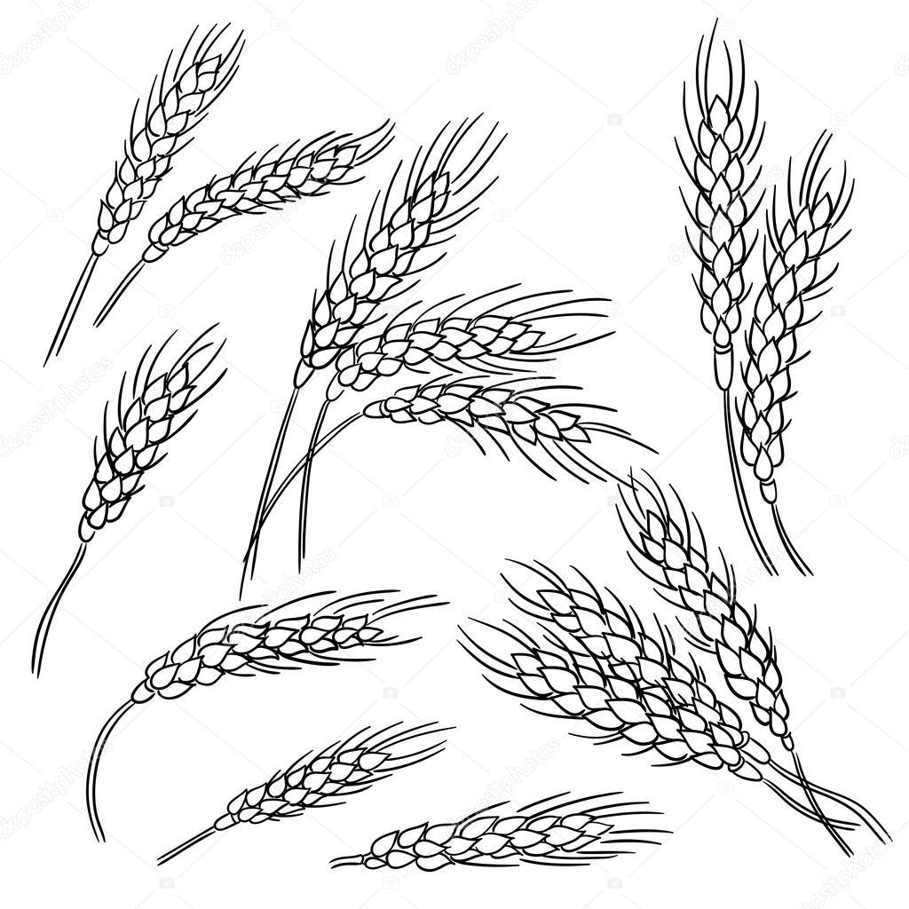 картинка колос пшеницы раскраска заваленным