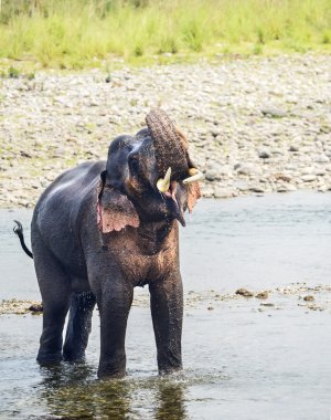 male asian elephant in a river