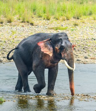 asian elephant  in a river