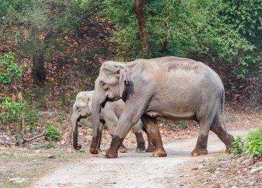 wild Asian elephants