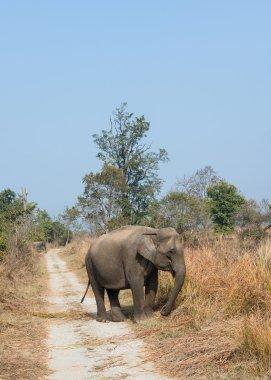 Female elephant in grassland