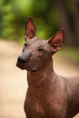 Mexican hairless dog outdoors on summer day