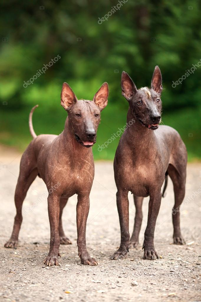 Two Mexican hairless dogs outdoors on summer day — Stock