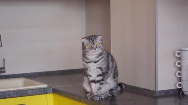Eine graue schottische Faltkatze sitzt auf einem Tisch in der Küche. Das Konzept, Haustiere vom Klettern auf dem Tisch zu entwöhnen