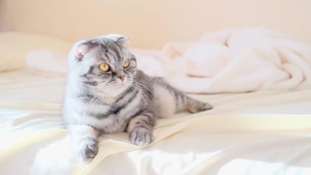 Šedá skotská skládací kočka leží zabalená v teplých béžových kostkách. Útulný roztomilý teplý domácí koncept s domácím mazlíčkem.