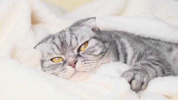 Die graue schottische Faltkatze liegt in ein warmes beiges Plaid gehüllt. Gemütliches, warmes Wohnkonzept mit Haustier.