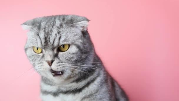 Šedá skotská skládací kočka s nespokojeným ústí zblízka na růžovém pozadí. Legrační mazlíček.
