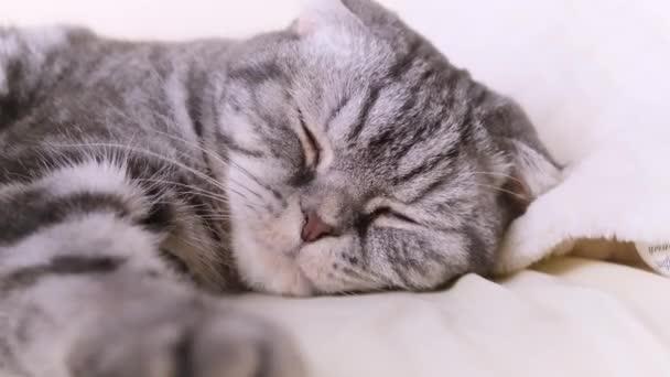 A macska a mancsaival morzsol össze egy takarót. Szürke lábak fekete csíkokkal, világos kockás. A macskák szokásainak fogalma.