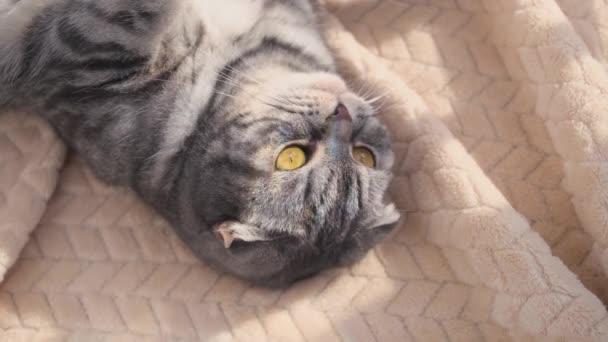A szürke skót hajtogatott macska szürke egy fekete csík sárga szemekkel fekszik az ágyon. Szivárvány fény a macska arcán. Koncepció maradj otthon reggel. Cuki vicces macska...