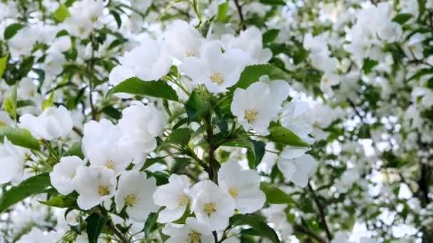 Blühender Apfelbaum aus nächster Nähe. Helles Frühlingsfoto. Schöne weiße Blumen. Tolles Image für Postkarten. Das Konzept von Frühling, Sommer, Blüte.