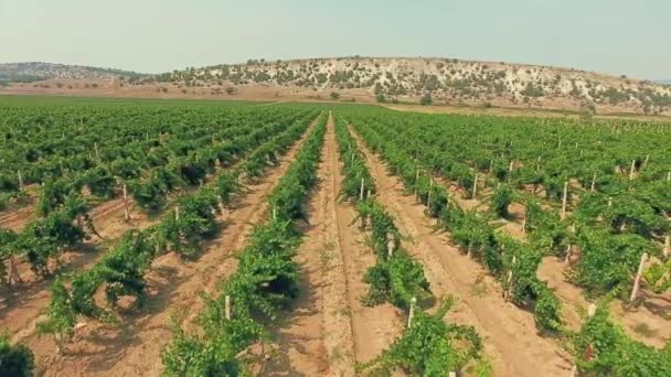 Beautiful vineyard in the Crimean mountains. Aerial view from copter.
