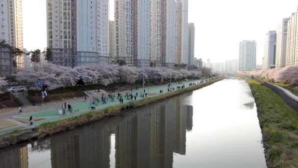 Cherry Brossom Blooming in Oncheoncheon Stream, Busan, South Korea, Asia.