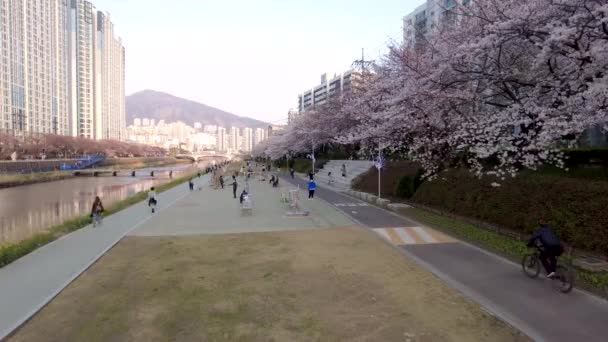 Cherry blossom Blooming in Oncheoncheon Stream, Busan, South Korea, Asia.