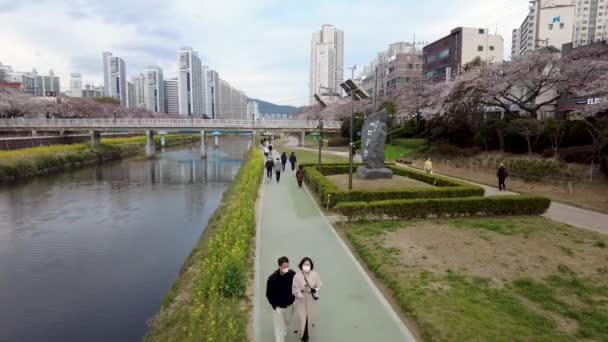 Yuchae Canola Flower Blooming in Oncheoncheon Stream, Busan, South Korea, Asia.