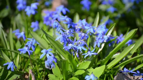 Scilla or bluebell