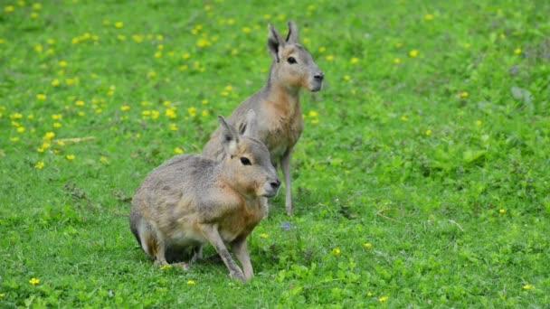 Patagonische Mara auf dem grünen Gras