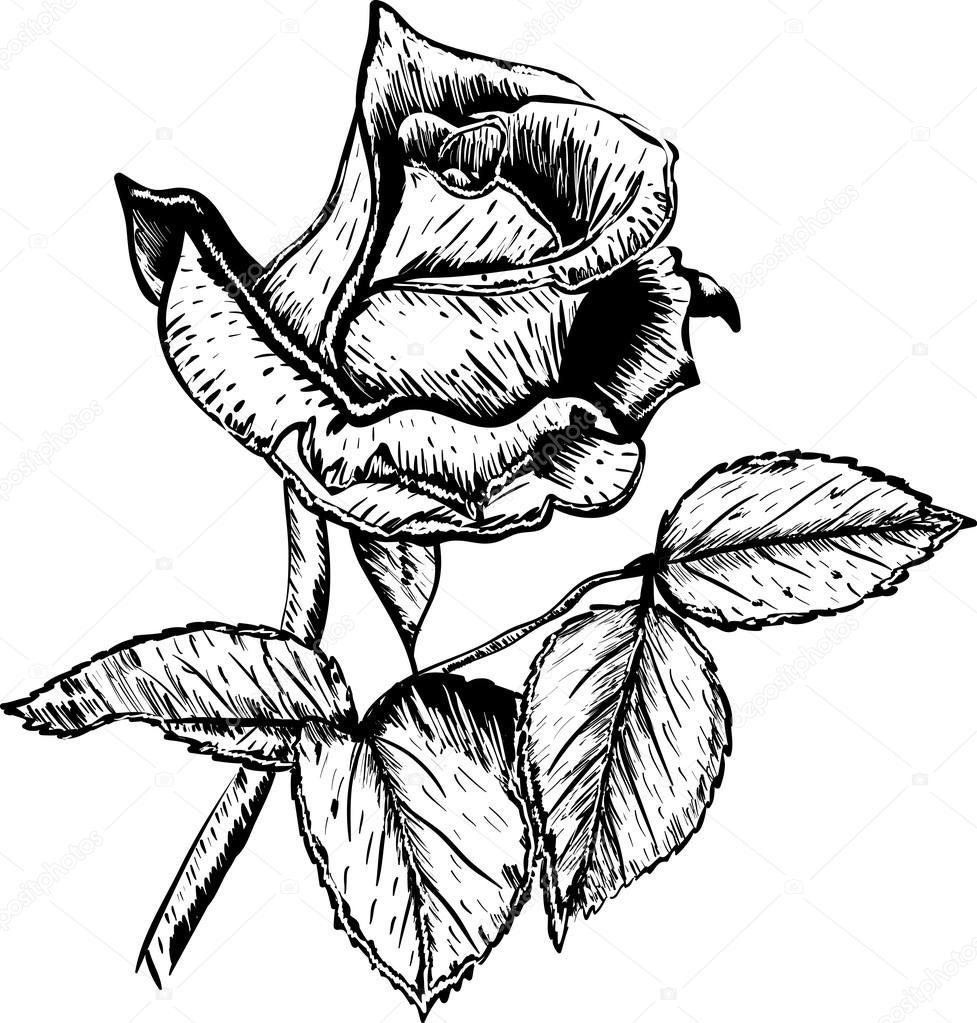 Mano dibuja flores rosas vector — Vector de stock © evryka23 #80790408