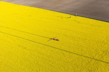 Yellow rape harvest fields with tractor